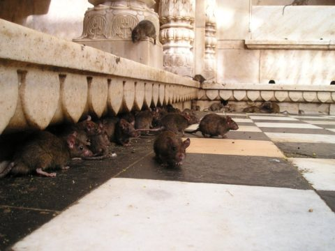 rats sur la terrasse