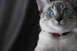 Chat couleur siamois portant un collier rouge et ayant les yeux bleus