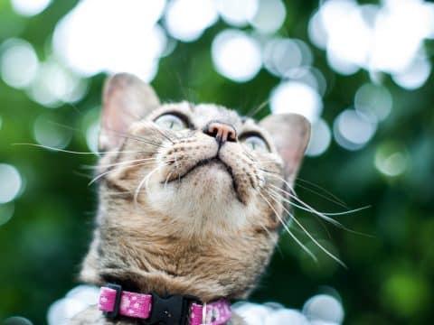 Chat tigré en extérieur, portant un collier rose