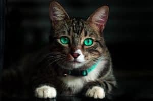 Collier tigré aux yeux vert portant un collier de la même couleur